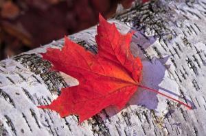 fall-leaf_26677